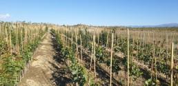 Vivero pistachos, recolocando tutores y atando (Kerman sobre atlántica)
